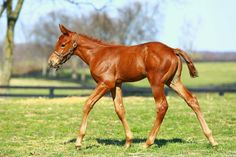 Hopefully this colt by American Pharoah will be as fast as his half sister Acapulco (Scat Daddy). Cute Horses, Pretty Horses, Horse Love, Beautiful Horses, American Pharoah Foals, Planeta Animal, American Paint Horse, Horse Names, Sport Of Kings