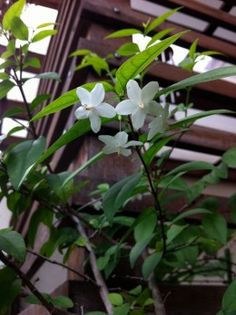 Jasmine grown indoors and other good smelling plants for indoors