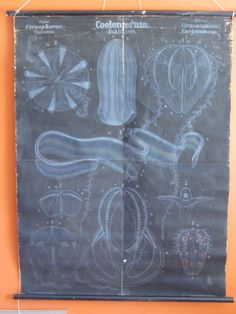 Rare Remarkable Rudolf Leuckart Wall Chart  Jellyfish  by cousinm, $1200.00