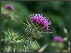 Deve dikeni, kenger ( Asteraceae)