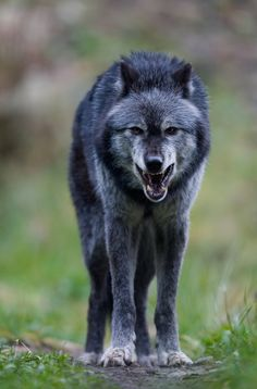 Grey Wolf - He looks a little hungry, huh?