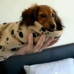 Cute Puppy Videos, Cute Animal Videos, Cute Dogs And Puppies, Funny Puppies, Doxie Puppies, Miniature Dachshund Puppies, Doggies, Cute Funny Animals, Cute Baby Animals