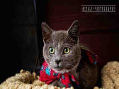 Oliver is a seven month old gray #kitten looking for his forever home.  He is available at Forsyth County Animal Control in Winston-Salem, NC.  See more info at Project Pearl on Facebook or http://www.co.forsyth.nc.us/animalcontrol/  Please adopt a shelter pet! #adopt #pet