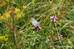 A male Chalk Hill Blue Butterfly, or Polyommatus coridon, as is its scientific name, feeding on Origanum vulgare at Pewley Down Nature Reserve in Guildford.