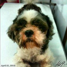 Pepper #grooming #shihtzu #dog #philippines
