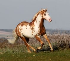 SAMY - Paint Horse Stallion - Domaine du Vallon (France)  Another picture of this sublime stallion. I can't help myself!
