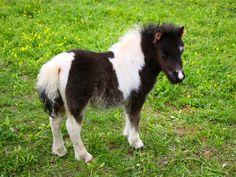 images of miniature horses Miniature Shetland Pony, Miniature Ponies, Shetland Ponies, Tiny Horses, Show Horses, Miniature Horse Barn, Animals And Pets, Cute Animals, Horses