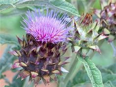 Cardoon, Rouge d'alger | Baker Creek Heirloom Seed Co