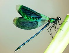 Beautiful.  Greens, blues dragonfly
