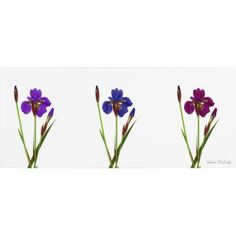 Trademark Art 'Siberian Iris Triptych' Canvas Art by Kathie McCurdy, Size: 10 x 24, Multicolor