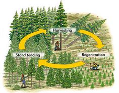 This graphic shows the cycle of a typical silviculture process. By harvesting proper trees, forest managers can allow younger trees the opportunity to grow.