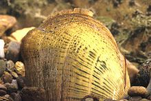 The Cumberlandian combshell, scientific name Epioblasma brevidens, is a species of freshwater mussel, an aquatic bivalve mollusk in the family Unionidae. This species is endemic to the United States. Its natural habitat is rivers. It is threatened by habitat loss.