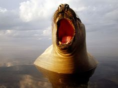 Photo A male Southern Elephant Seal rises from a mirror-calm ocean in winter off the coast of Victoria, Australia. National Geographic Images, Elephant Seal, Victoria Australia, Flora And Fauna, Marine Life, Image Collection, Nature Photos, My Idol, Photo Galleries