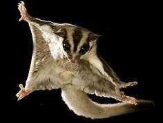 Sugar glider- I've always wanted one since this morning!