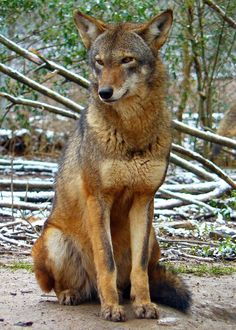 Red wolf at Reflection Riding Arboretum and Nature Center, a Red Wolf Species Survival Plan participant. Photo credit theirs.
