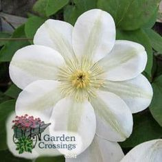 (Clematis) Clematis 'Guernsey Cream' is a very floriferous and compact cultivar. Masses of creamy yellow 6