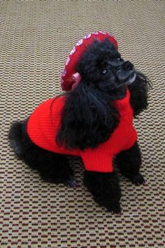 Poodle with her red jacket and sombrero.  Too cute.  #puppied