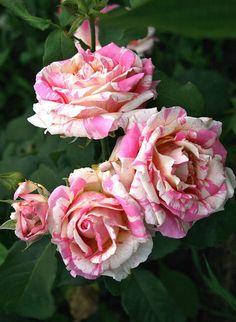'Claude Monet'   Hybrid Tea Rose.  Jacksons & Perkins 1992   @ Oliver