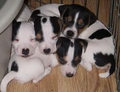 Jack Russell Terrier: JRTCA Fun: Main Picture Gallery