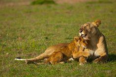 Una leona esconde a sus cachorros entre un arbusto espeso hasta que son lo suficientemente grandes para unirse a la manada…