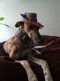 Pogo looks very suave and debonair in his hat. #greyhounds…