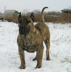 - Presa Canario, I've seen this breed do bite work, as much as I like these dogs......they might be too much for me. :-/