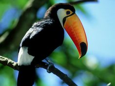 Iguacu National Park in Argentina Samba, Pictures Of Turtles, Toco Toucan, My Father's World, Bird Drawings, Drawing Birds, Frames For Canvas Paintings, Tropical Birds, Island Girl