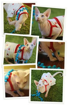 Red, white, and blue. #hairless #sphynx #cat