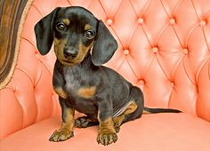 Not only am I a Dachshund, I have fancy furniture.