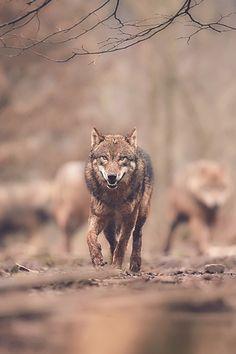 Wolf by René Unger Wolf Spirit, Spirit Animal, Beautiful Creatures, Animals Beautiful, Of Wolf And Man, Animals And Pets, Cute Animals, Wolf Hybrid, Wolf World