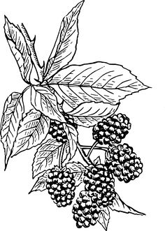 Blackberry Clip Art at Clker.com - vector clip art online, royalty ...