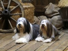 Two Bearded Collie dogs photo