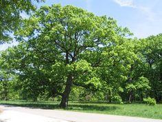 Swamp White Oak   Quercus Bicolor 20.00 4-5 ft ships Nov