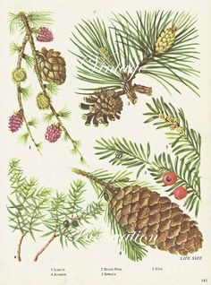 botanical illustrations spruce - Google Search