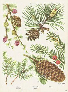 botanical illustrations spruce - Google Search