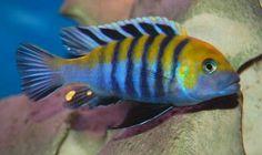 Scientific name: Cynotilapia Afra,