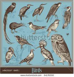 Google Image Result for http://thumb18.shutterstock.com/display_pic_with_logo/176509/176509,1288635986,2/stock-vector-vector-set-birds-variety-of-vintage-bird-illustrations-64176550.jpg