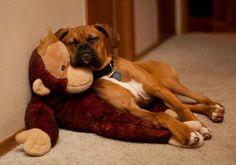 Boxer-Monkey Nap #BoxerDog