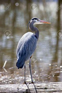 9344135-Garza-azul-es-permanente-de-altura-en-un-registro-en-el-lago--Foto-de-archivo.jpg (866×1300)