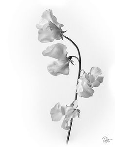 white japanese sweet pea                                                                                                                                                                                 More