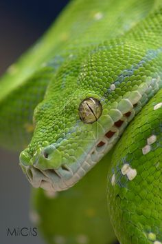 Snakes as pest managers for greenhouse? Eek!