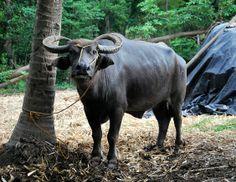 CARABAO [Kalabaw], Philippines national animal.