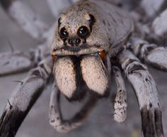 """The spider's tiny mouth opening is hidden by a pair of large chelicerae, ending in sharp, venomous   fangs. To either side of the mouth are the pedipalps, leg-like structures used by the animal as   """"hands"""" to manipulate food or even carry its eggs. In spiders, the fangs inject both venom and   digestive enzymes, liquefying the innards of insect prey."""
