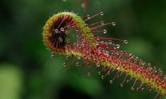Carnivorous Plant - Insectivorous