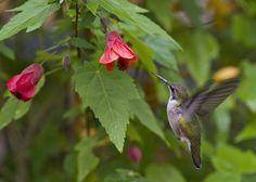 Hummingbird on Abutilon - Flowering Maple. A top 25 hummingbird nectar plant.