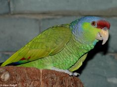 Amazona finschi - Lilac-crowned Parrot