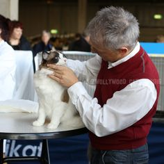 Doc Hudson A Zwollywood Cat. 1 Year old, Ragdoll cat, seal bicolour. Cattery, 1 Year Olds, Seal, Kittens, Cars, Animals, Cute Kittens, Animales, Animaux