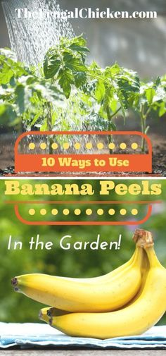 Use banana peels in your garden instead of throwing them away! Here's 10 ways to use banana peels in your garden. Easy projects you can do today! From FrugalChicken(Diy Garden Easy) Diy Garden, Edible Garden, Garden Projects, Easy Projects, Garden Soil, Garden Care, Planter Garden, Balcony Garden, Herb Garden