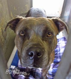 A4813339 I am a friendly 2 yr old male br brindle/white pit bull mix. I came to the shelter as a stray on March 30. available 4/4/15 NOTE: Bully breeds are not kept as long as others so these dogs are always urgent!! Baldwin Park shelter https://www.facebook.com/photo.php?fbid=949115875100250&set=a.705235432821630&type=3&theater