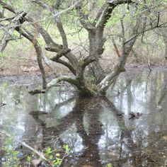 Swamps at Piney Woods and Big Thicket National Preserve